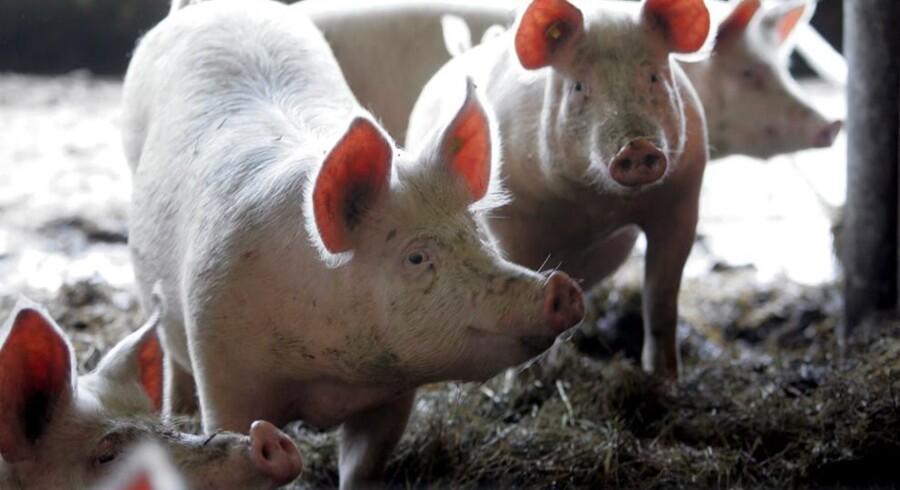 Hovedparten af de danske slagtesvin er bærere af MRSA-bakterien, som kan smitte mennesker. Free/Www.colourbox.com