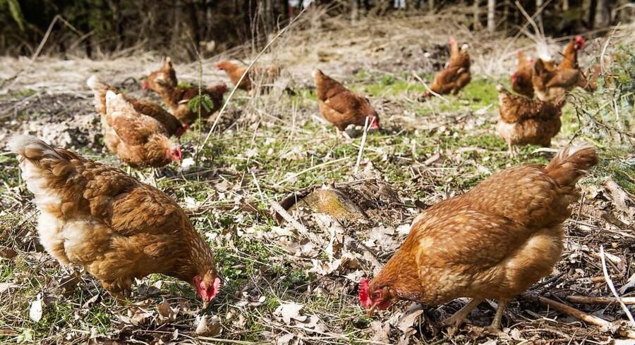 Danskerne efterspørger, som det aldrig før er set, animalske produkter med mere dyrevelfærd.
