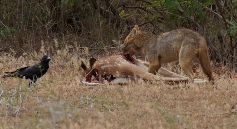 Guldsjakalen er den største af de tre sjakal-arter og den eneste der lever uden for Afrika. Her er et eksemplar ved at æde en hjort på Sri Lanka, mens en krage venter på tur.