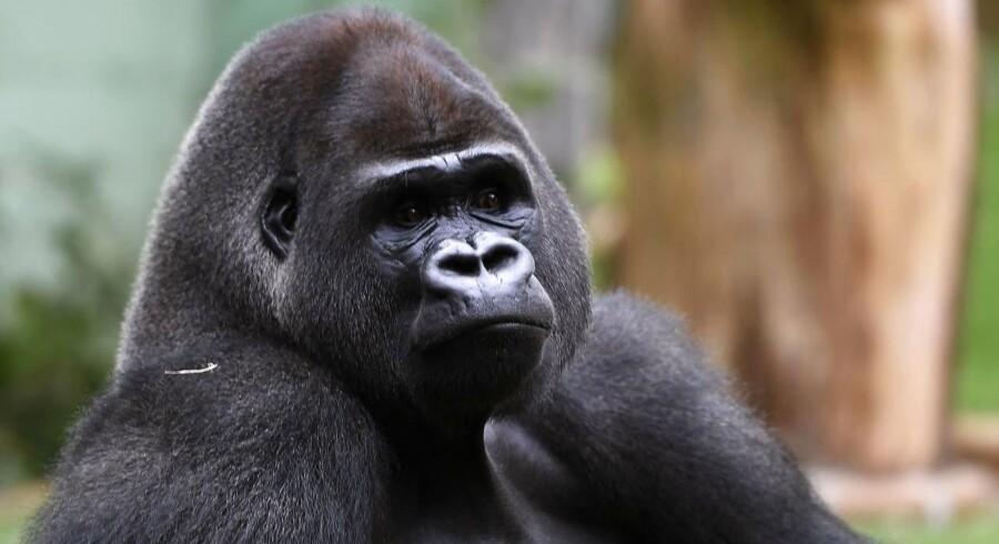 Gorillaen er tæt på udryddelse. Siden 1996 er der blevet 30 pct. færre gorillaer.