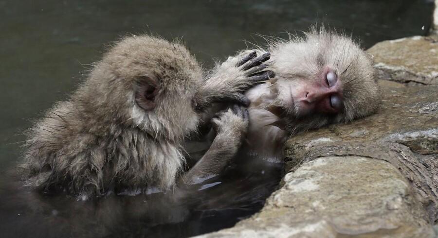Japanske makak-aber slapper af i varmt vand. Og nedsætter deres stress-niveau i processen. Billedet er fra 21. marts 2018. Foto: Kimimasa Mayama