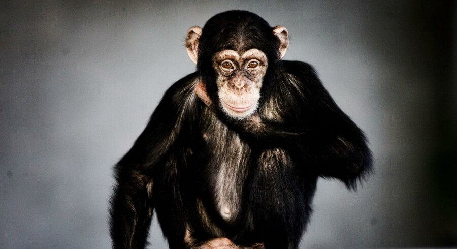 Chimpanse.