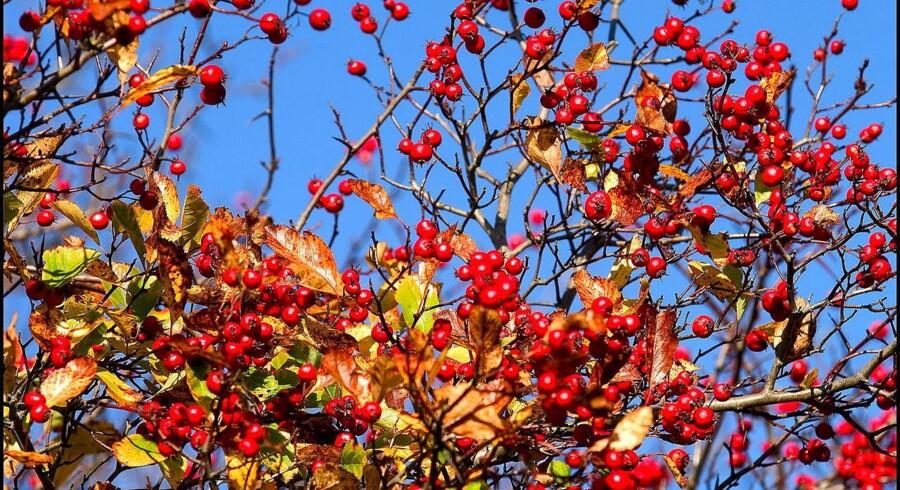 Efteråret er den store sankesæson.