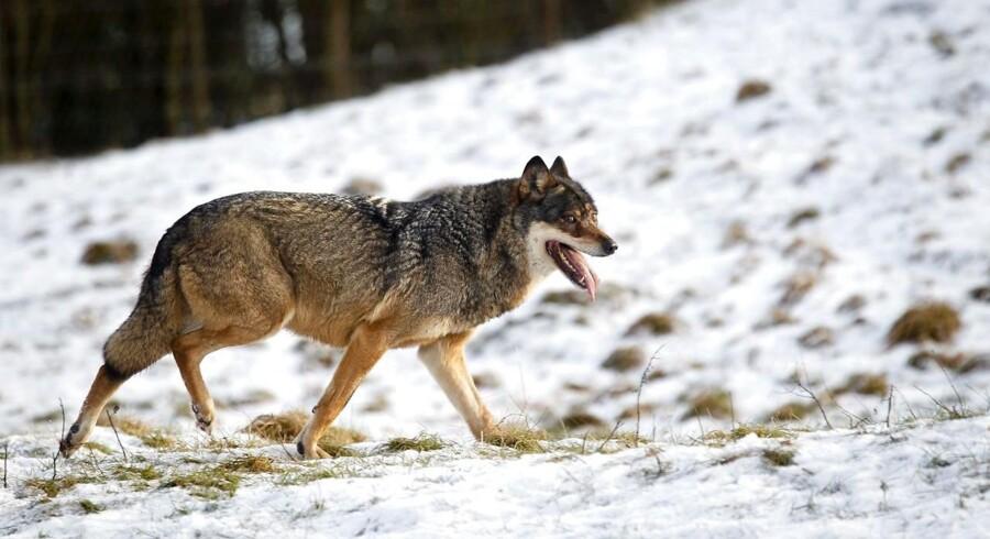 Først var der 40 ulve, siden var måske halvt så mange, og nu er der ikke meget mere end et par stykker. Men, som det fremgår af regnskabet, så stemmer det ikke. Der er ugler i mosen. Der kan ikke på en og samme tid være registreret enten 40 eller ganske få ulve i dansk natur. (Arkivfoto: Lars Rasborg, 2013)