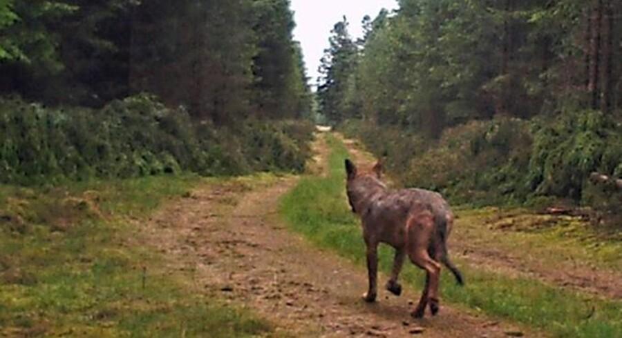 Naturstyrelsen har fanget en voksen, tynd ulv med sommerpels på kamera. Ulven er på tur i en midtjysk skov.