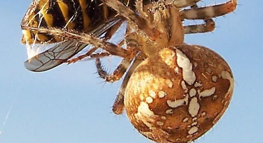 En korsedderkop med bytte fanget i spindet.