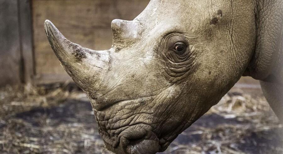 Arkivfoto fra Københavns Zoo: Nyt næsehorn i ZOO. Der er kommet et nyt hun-næsehorn Zuri til Zoo i København fra Borås i Sverige.