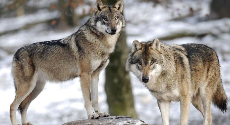 Antallet af danske ulve er helt overdrevetDanmark er langt fra at få en ynglebestand af ulve. Nye dna-analyser viser, at der højst er en håndfuld dyr i naturen, siger forskere på Københavns Universitet. (Foto: JEAN-CHRISTOPHE VERHAEGEN/Scanpix 2016)