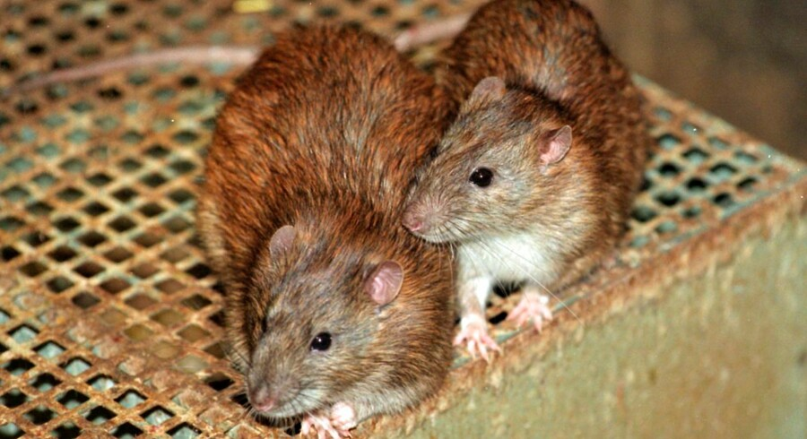 ARKIVFOTO af rotter.