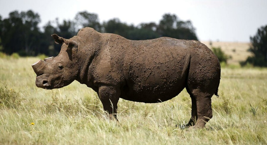 Et næsehorn fotograferet i Sydafrika, efter det har fået skåret sit horn af.