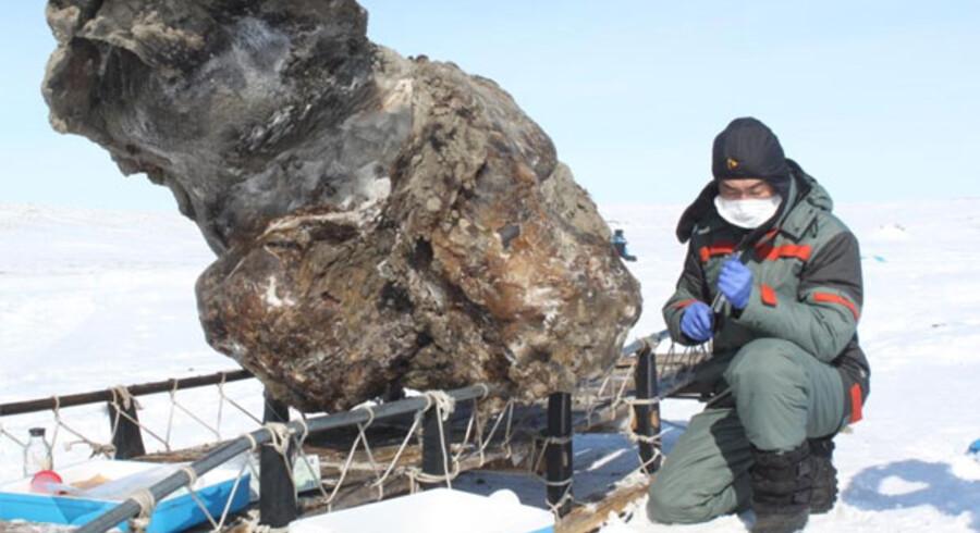 En biolog fra Aarhus Universitet har fået tilladelse til at analysere blod fra en usædvanlig velbevaret mammut, der har ligget nedfrosset i 43.500 år.