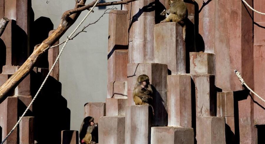 Bavianer med deres unger i København Zoo. Arkivfoto.