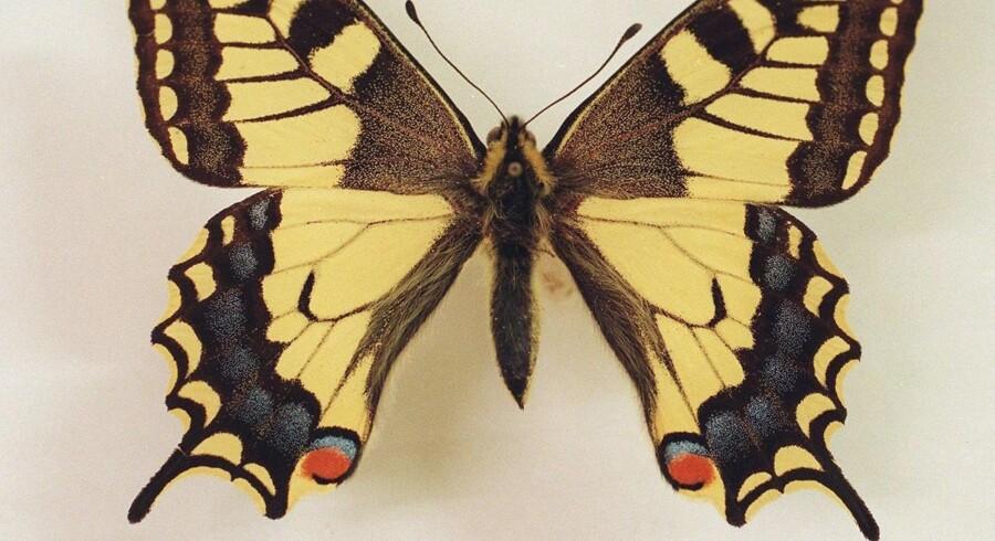 Almindelig svalehale kan nå et vingefang på op mod ni centimeter.