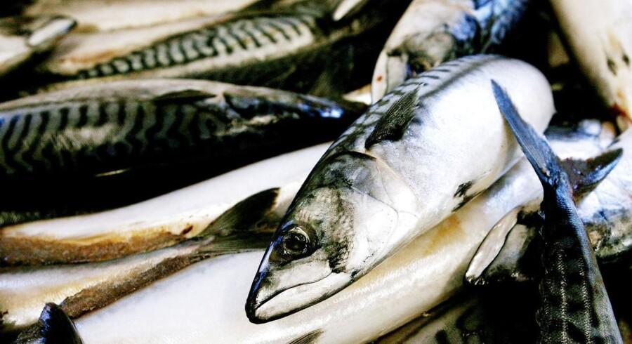 Nye unikke forskningsresultater fra Grønlands Naturinstitut og DTU Aqua viser med sikkerhed, at der er masser af makrel i havet ud for det sydøstlige Grønland. Sidste år blev det anslået, at der var omkring en halv million tons.