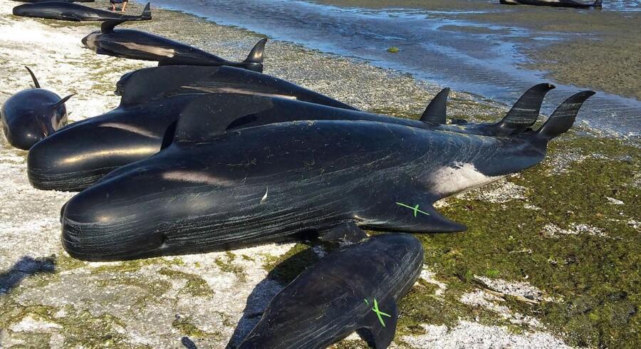 Ved New Zealands Golden Bay - på nordkysten af landets sydlige ø - er 416 hvaler strandet natten til fredag. Det er det største målte antal strandende hvaler nogensinde i New Zealand, hvor fænomenet med strandede hvaler ellers forekommer jævnligt. De strandede hvaler er grindehvaler, hvoraf omkring en fjerdedel stadig er i live. Redningsarbejdere og frivillige forsøger at redde de levende hvaler ved at dække dem i våde klæder, indtil vandstanden stiger. Hvorfor grindehvalerne strander på land er uvist. Teorier består bl.a. i, at hvalerne fejlnavigerer eller forsøger at flygte fra jagende spækhuggere.