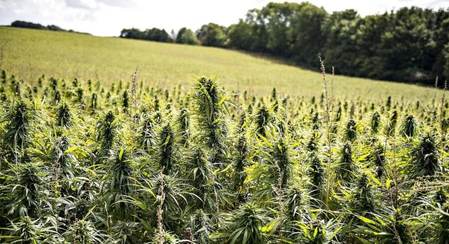 Alfred Pedersen & Søn er langtfra den eneste gartnerivirksomhed, der har fået øjnene op for potentialet i cannabisproduktion. Arkivfoto.