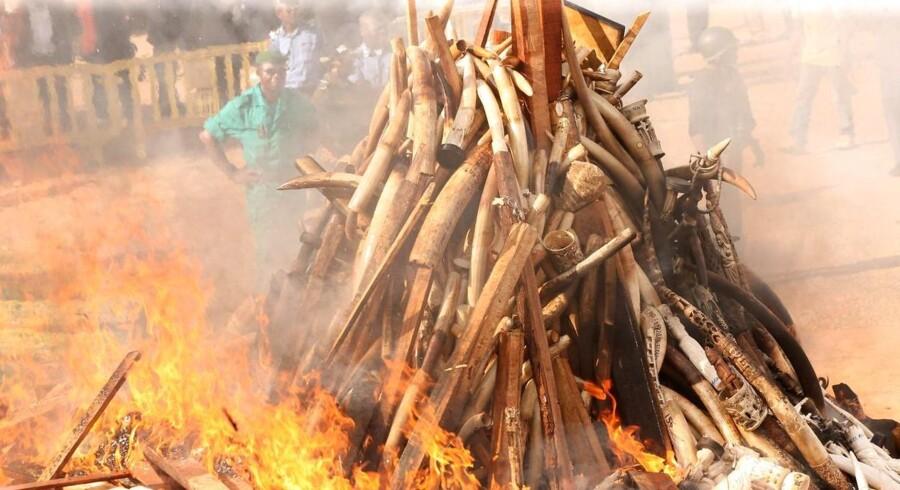 Stødtænder for mere end en halv milliard kroner bliver lørdag brændt af, når Kenya ved et topmøde sætter fokus på krybskytteri. Et stærkt budskab, siger WWF.