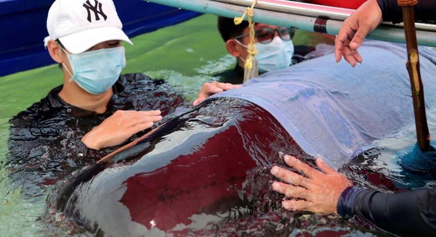 Marinbiologer forsøgte forgæves at redde en grindehval i det sydlige Thailand. Hvalen døde dog efterfølgende efter at have slugt 80 plasticposer.