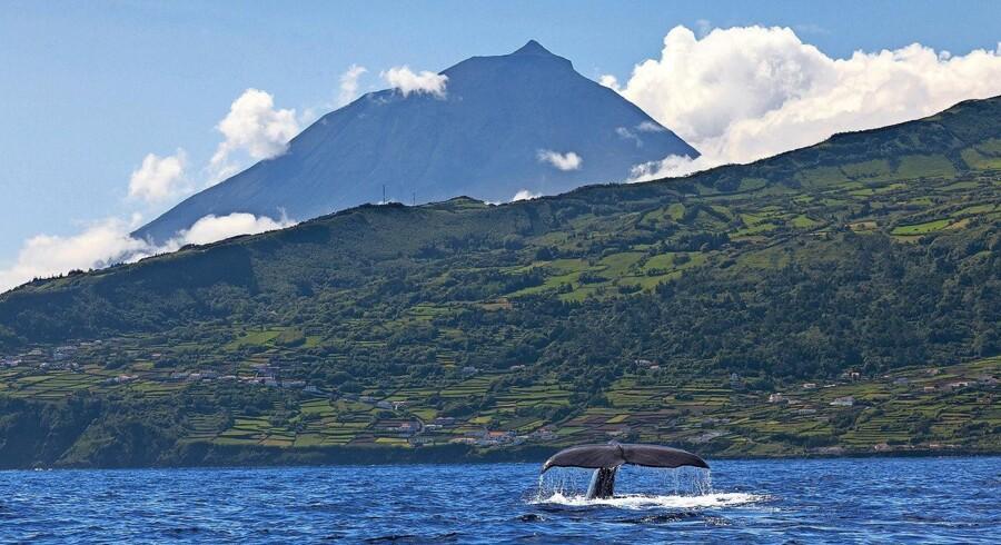 En hvalhale forrest, frodige grønne marker i midten og Pico-vulkanen i baggrunden – så bliver det ikke meget bedre. Foto: Jesper Møller, Aqua Acores og Visit Azores
