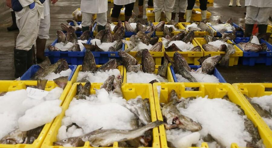Arkivfoto: Der handles for store mængder fiskekvoter, skriver Rigsrevisionen i sin rapport. Ministeriet har øjensynligt ikke styr på det reelle antal kvotehandler.