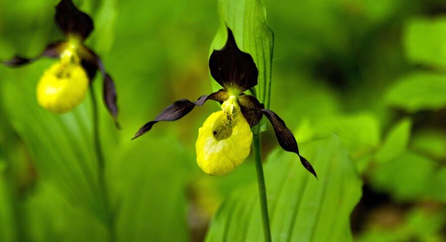 Naturoplevelser i Himmerland. Orkideen Fruesko vokser et sted i Rold Skov, hvor den kan ses i en indhegning.