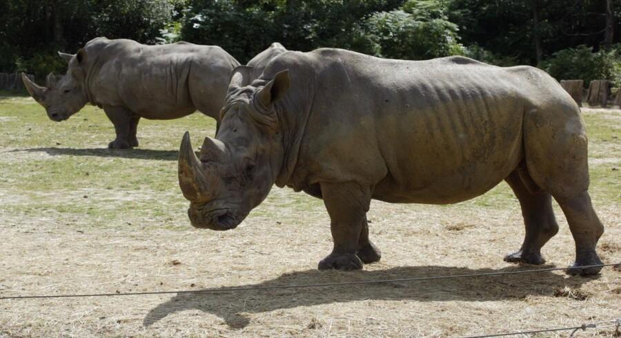 Et kilo horn fra næsehorn sælges for op mod 600.000 kroner på det asiatiske marked ifølge Bloomberg. Scanpix/Martin Bureau/arkiv