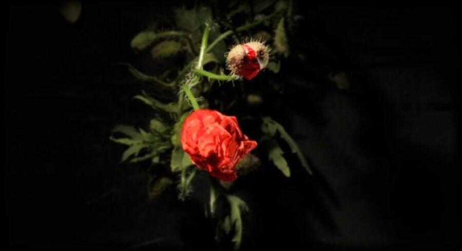 Valbuer filmet i slowmotion, mens de springer ud, er en del af Eva Kochs udstilling i Martin Asbæk Gallery. Pressefoto