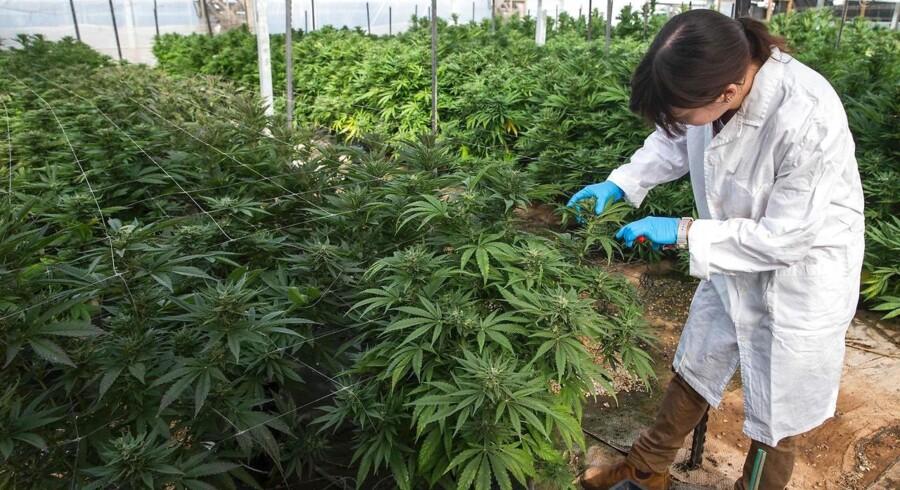 Cannabis skal være lovligt at bruge og sælge, mener SF nu.