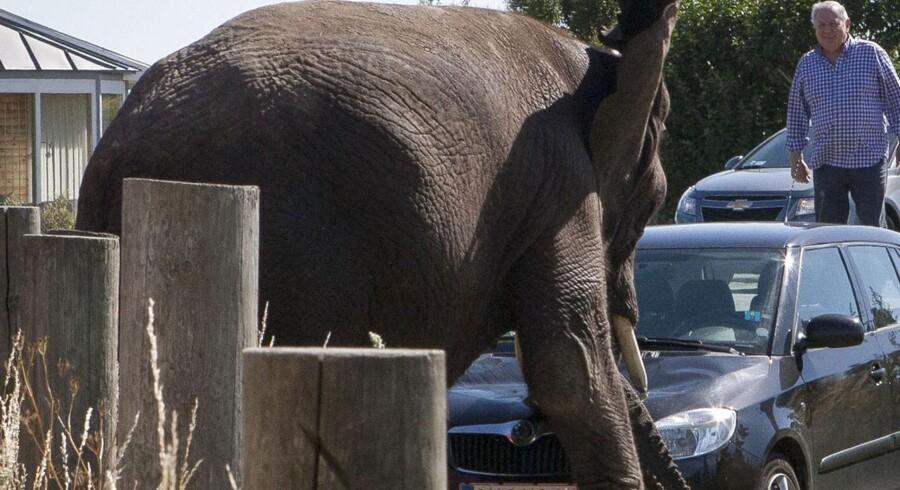 Flere hundrede mennesker var mødt op ved Karrebæksminde på Sydsjælland for at se badeturen, da elefanterne pludselig satte i løb rundt om teltet og gik amok på en parkeret bil.