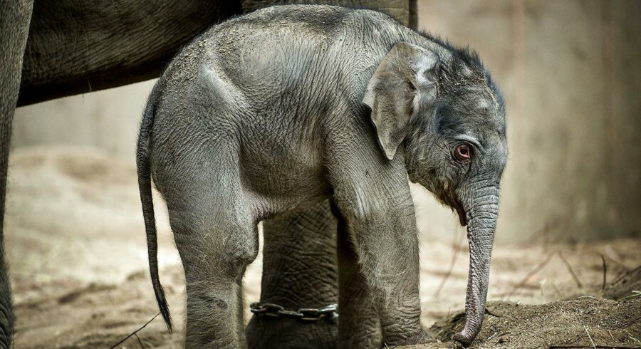 Kungraos første unge, Khao Sok, døde knap to år gammel af elefantherpes. Nu har Kungrao født en unge igen. (Foto: Torkil Adsersen/Scanpix 2013)