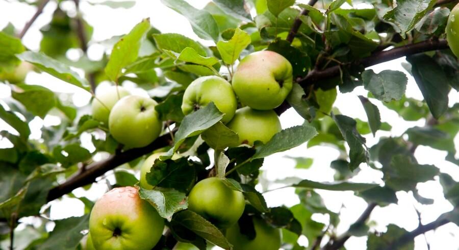 Tirsdag, den 3. september 2013 Villy Mougaard, Blomstergården i Batum fortæller om æblesorter etc. / JakobTT Foto: Morten Dueholm