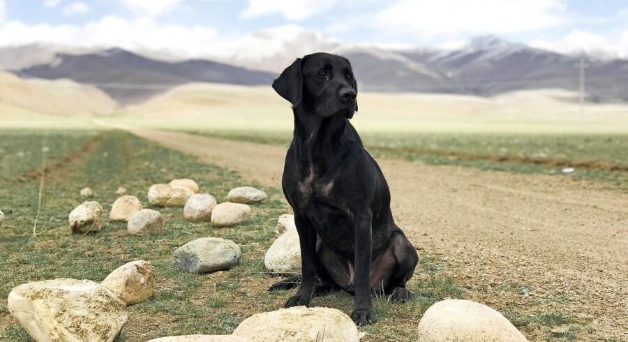 På Fødevarestyrelsens hjemmeside, fvst.dk, kan du sætte dig ind i reglerne, når du skal rejse med din hund. Foto: Creative Commons