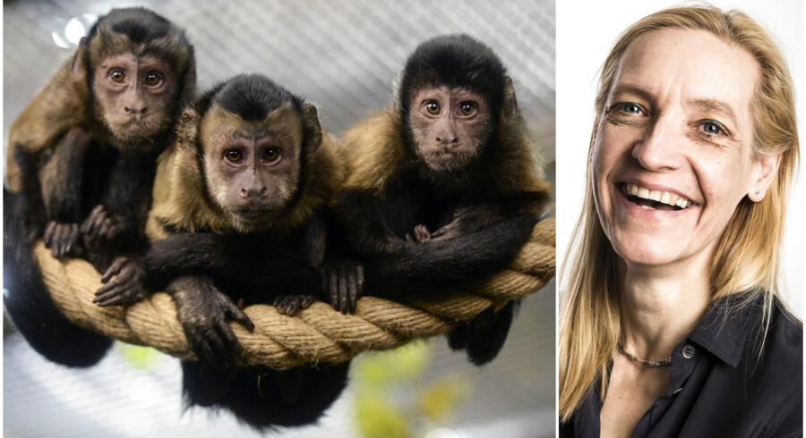 Capuchiner-aber vil hellere undvære helt, end føle sig uretfærdigt behandlet.