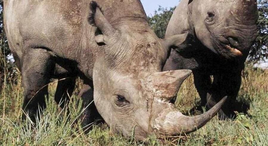 Jagten på - og således også udrydelsen af - de store græsædende næsehorn i Afrika fortsætter.