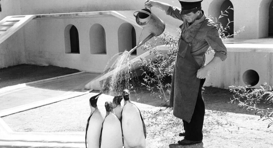 Lørdag 23. september 2017 fejrer Københavns Zoo sin 158 års fødselsdag. Som en af Europas ældste zoologiske haver har Zoo en lang tradition for at holde eksotiske dyr, så danskerne kan få muligheden for at se de fremmede arter. Dyk ned i arkivet og se de dejlige billeder.