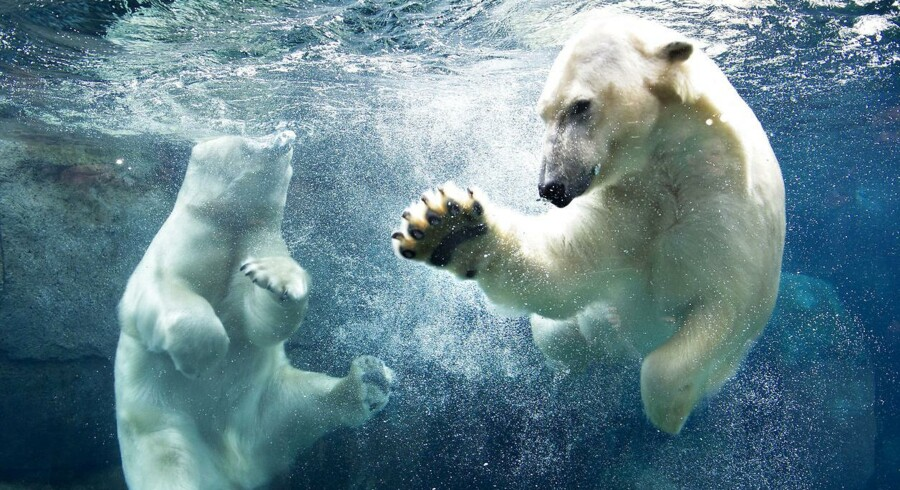 Isbjørnene i Zoos anlæg til isbjørne, nordatlantiske fugle og sæler, Den Arktiske Ring. Anlægget giver publikum mulighed for at komme helt tæt på dyrene både over og under vandoverfladen.