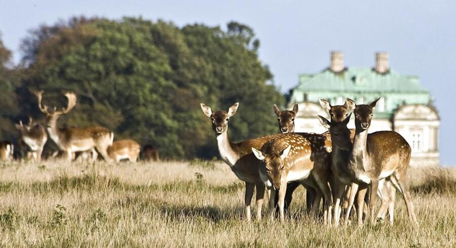 Et område af Dyrehaven, som har været afspærret i over 60 år, bliver i dag åbnet op for skovens dyr og besøgende.