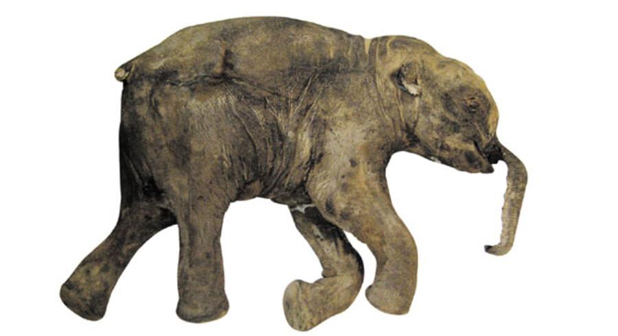 Allerede i år indleder japanske forskere arbejdet med at genskabe den for længst uddøde mammut ved hjælp af kloningsteknologi. Forskerne vil forsøge at genoplive arten med væv fra liget af en fire måneder gammel mammut (foto), der opbevares på et russisk laboratorium.