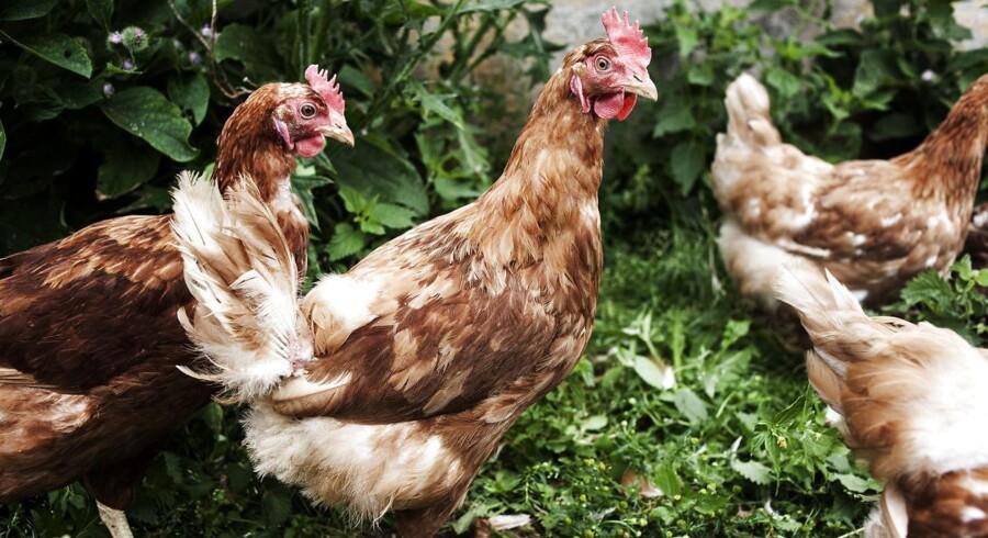 Hidtil har man anbefalet, at alle, der holder eller opdrætter fjerkræ, har holdt fuglene indendørs.