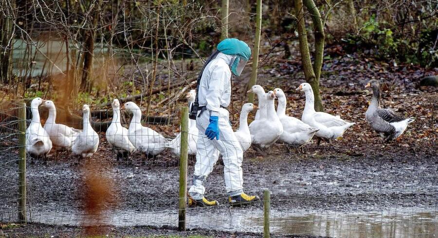 Virussen er også nået til Danmark, hvor fire havørne i starten af februar døde af den.