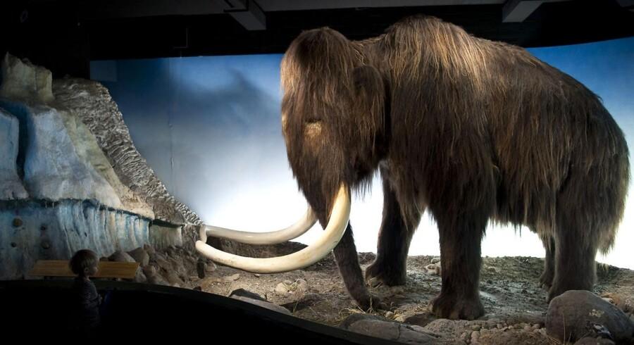 Forskere fra blandt andet Japan siger, at de nu har såvel den fornødne teknik som den fornødne DNA til at klone en mammut