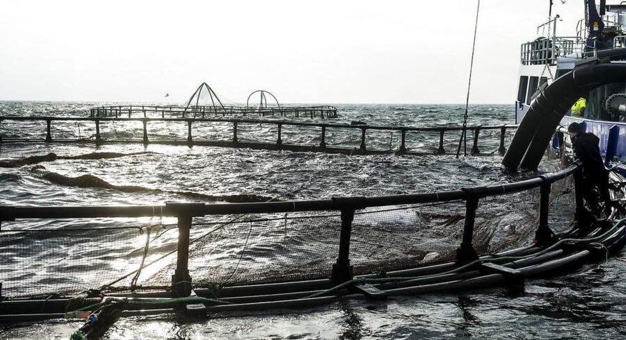 Dansk havbrug har ligget i dødvande de sidste 20 år, mens branchen globalt set bare vokser og vokser.
