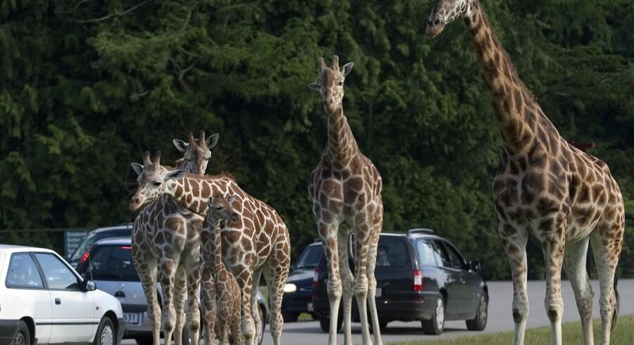 Knuthenborgs giraffer går fredeligt rundt blandt parkens bilende gæster. (PR-foto)