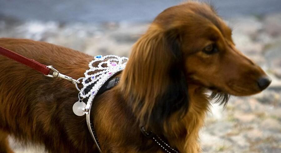ARKIVFOTO: 21 afmagrede gravhunde opdaget og fjernet fra stald på Lolland. Tidligere på ugen blev 91 hunde fjernet på Sjælland.