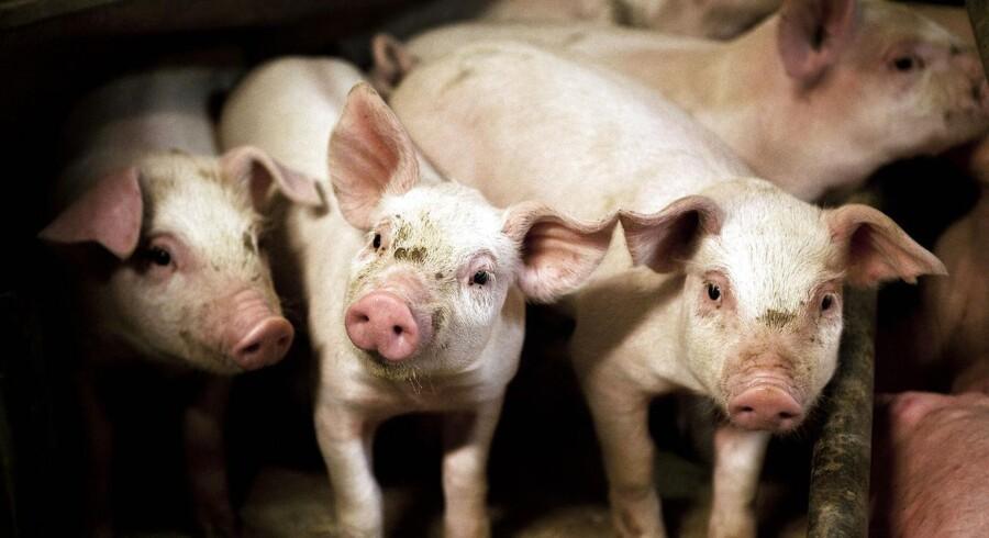 Landbruget er hårdt ramt, og specielt for svineproducenterne falder indtjeningen i de kommende år.