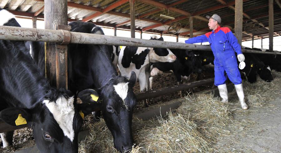 ARKIV. En japanskkvlgbonde fodrer sine dyr i Katsurao 25 km fra Fukushima i maj måned.