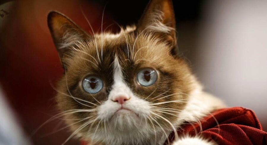 Internetsensationen Tardar Sauce, bedre kendt som Grumpy Cat.