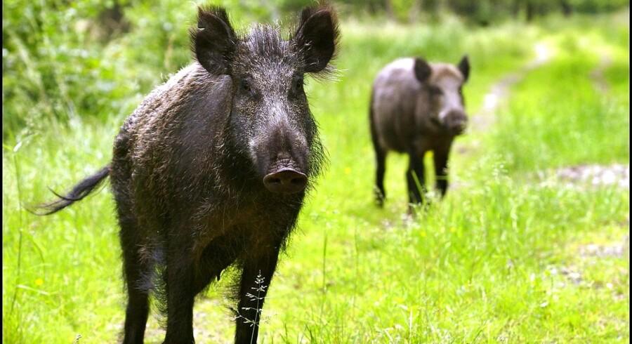 Arkivfoto. Et vildsvin nåede at forårsage skader for 75.000 kroner, før det blev skudt og dræbt af tysk politi.