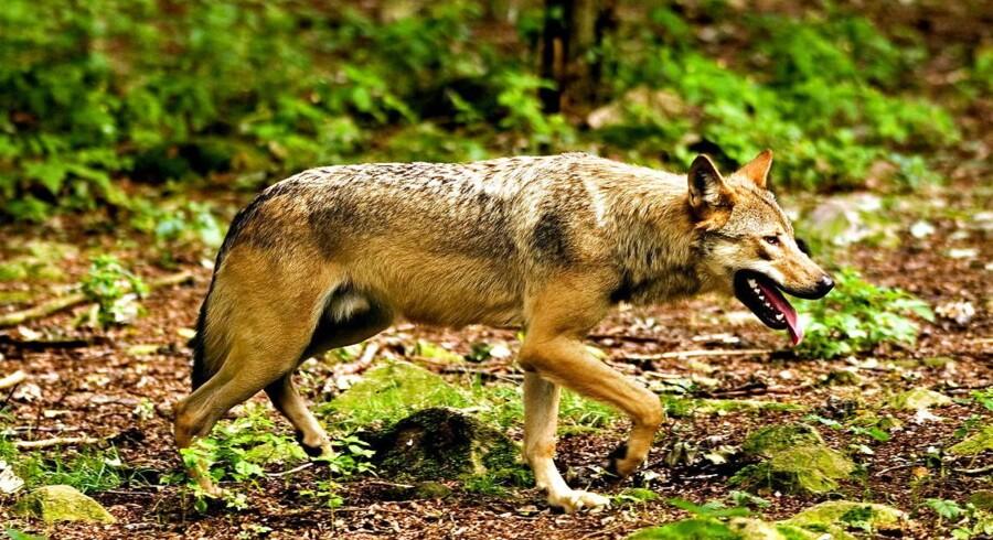 (ARKIV) Ulve æder sig mætte i Jylland, hvor de i år har slået ihjel mindst 20 gange.