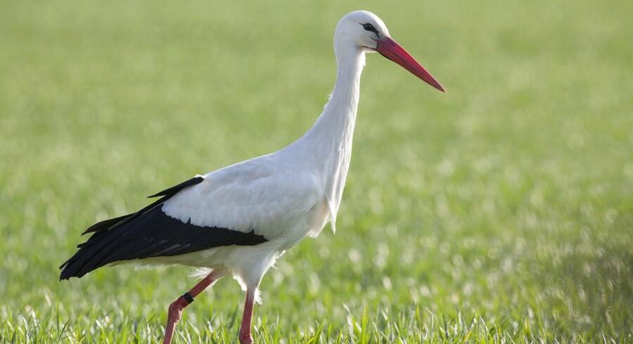 Arkivfoto. Den varme temperatur de seneste dage har ført til, at flere storke er fløjet til Danmark.